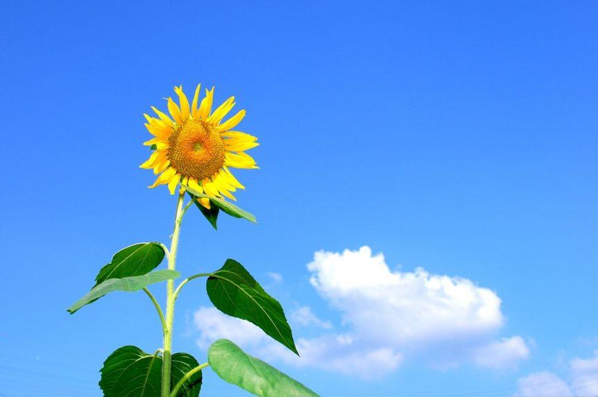 summer sunflower in fremantle Perth